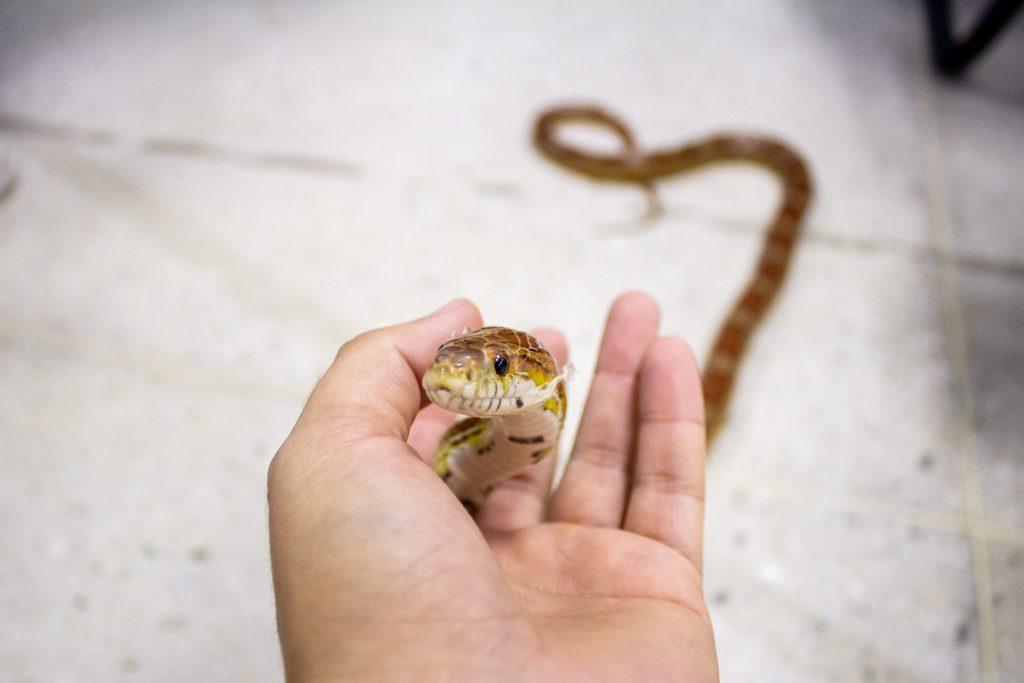 kígyó háziállat