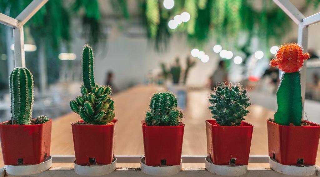 Kaktuszbor