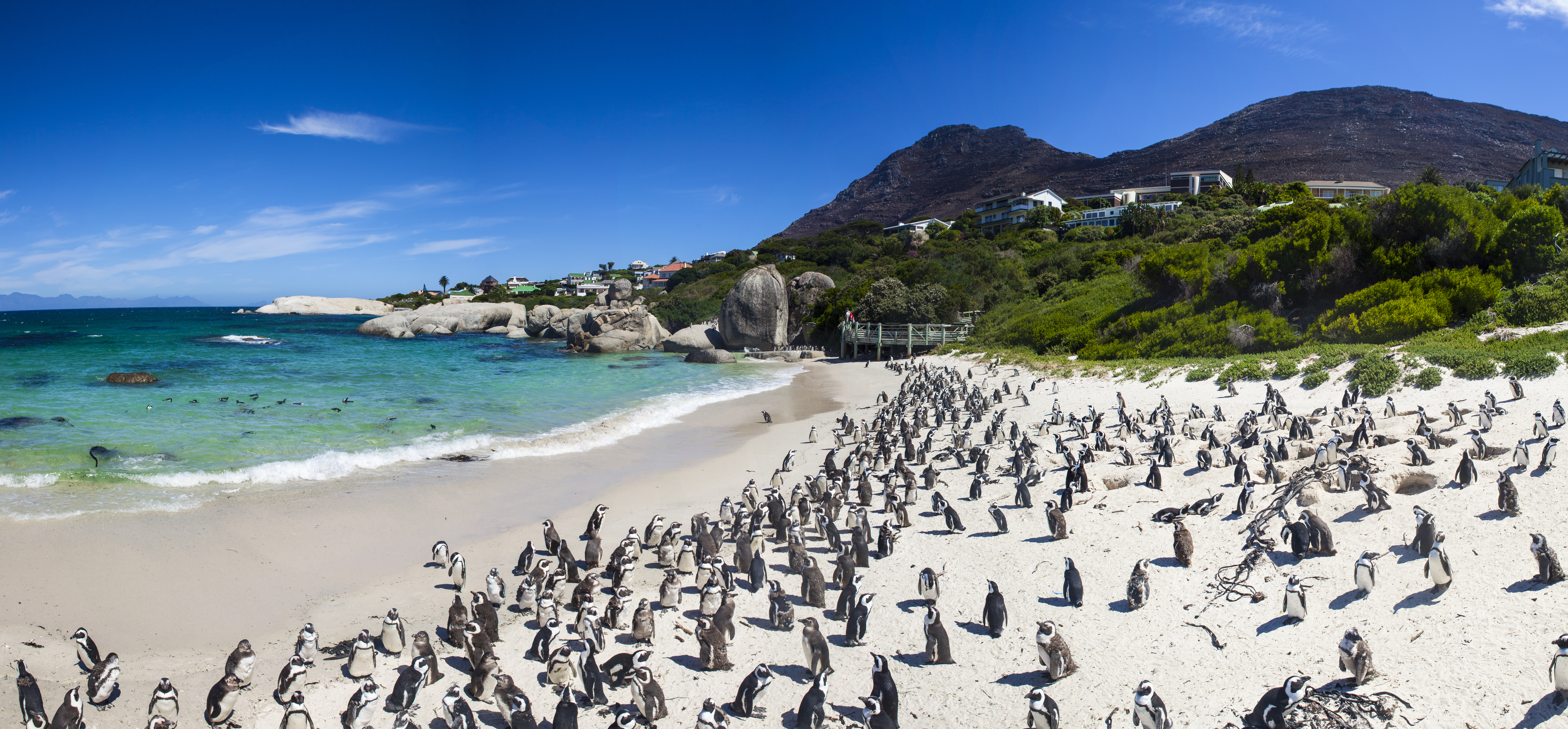 Penguins,at,boulders,beach,in,simons,town,,cape,town,,africa