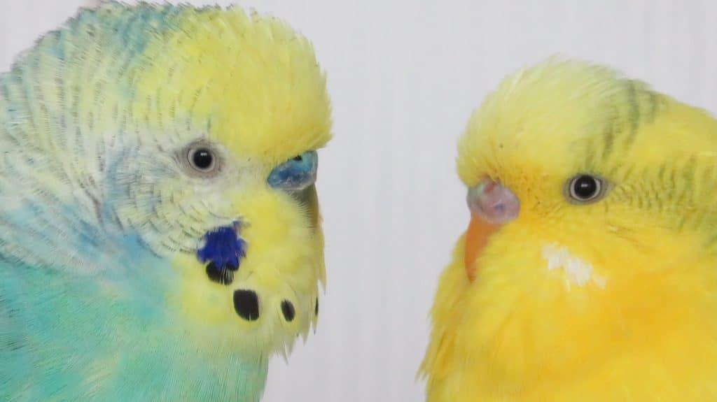 hullámos papagáj, madártartás, madárbarát, állatbarát