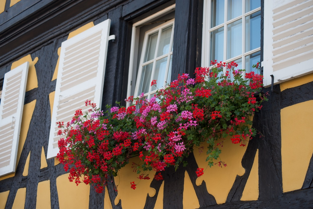 Closeup,of,red,geraniums,on,medieval,building,facade,in,the