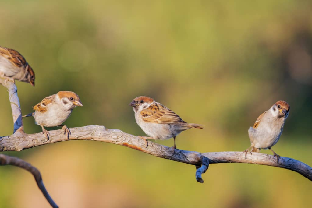 Sparrows,sit,on,a,dry,branch