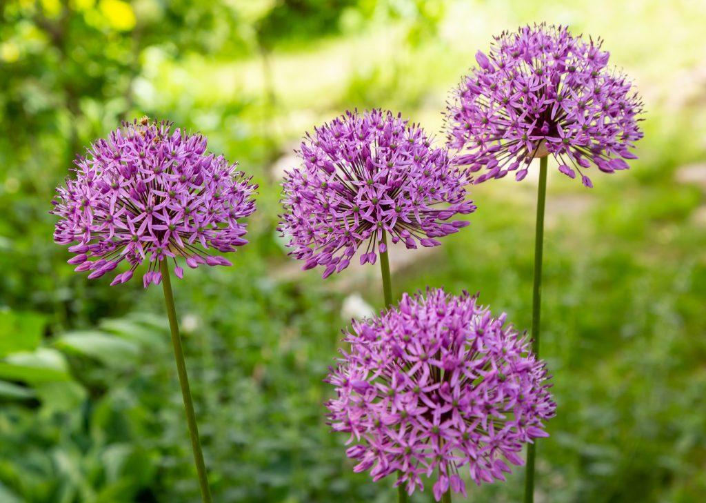 Allium,giganteum,blooming.,few,balls,of,blossoming,allium,flowers.,beautiful