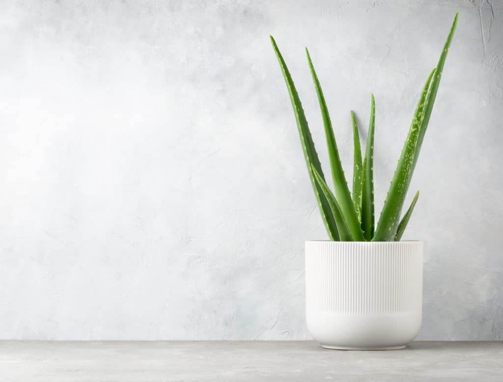 Aloe,vera,in,a,flowerpot,on,grey,table,and,grunge