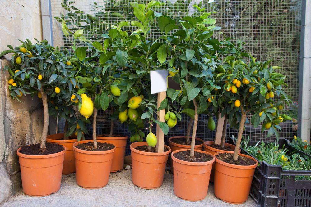 Lemon,trees,in,pots,at,street,flower,shop