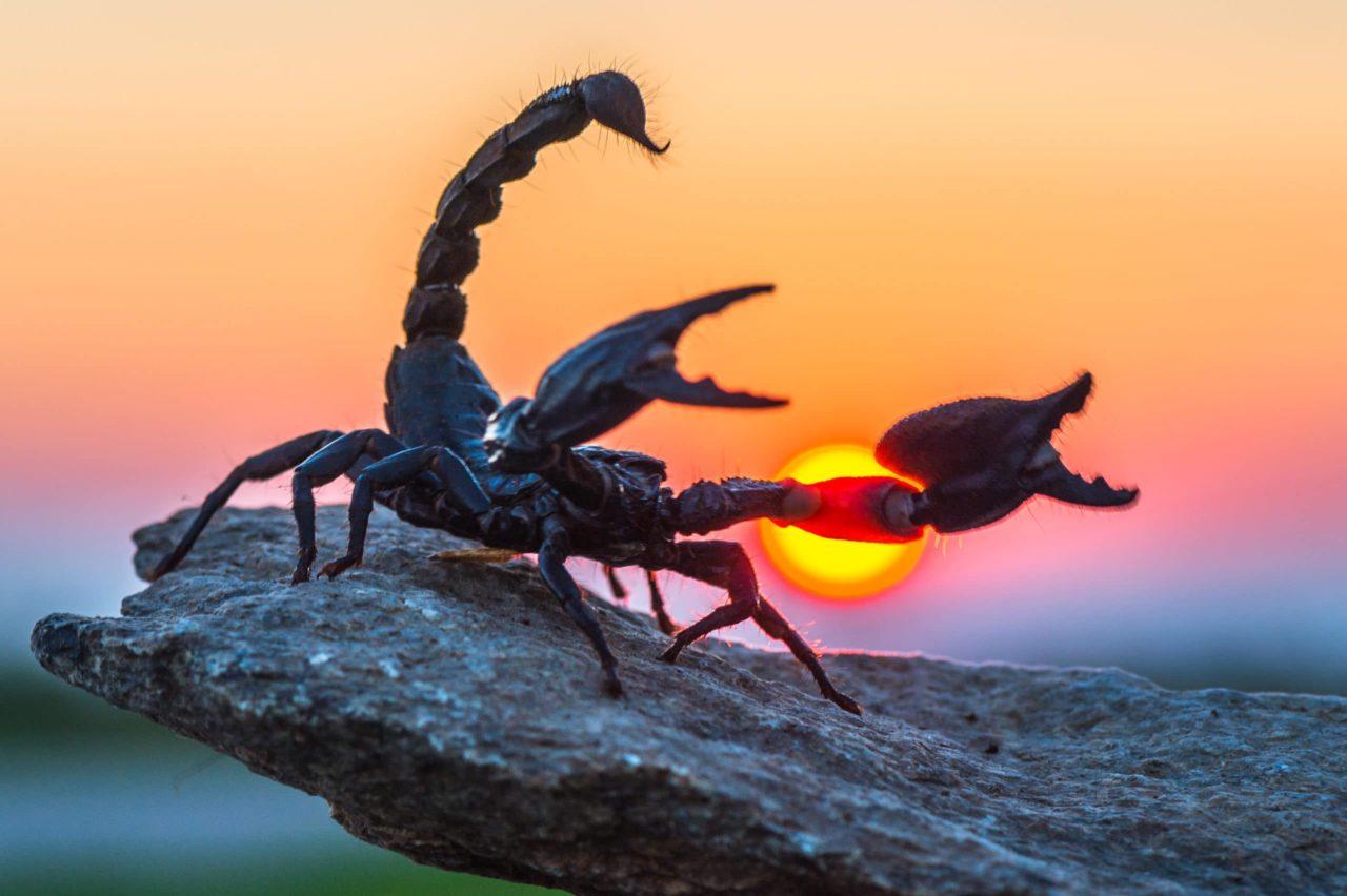 Veszélyes fullánk és gyengéd érzelmi világ furcsa ötvözete – a skorpiók ötven árnyalata